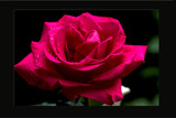 A Memorial Rose by kramden11, Photography->Flowers gallery