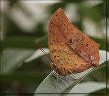 Butterfly Seventeen by Jimbobedsel, Photography->Butterflies gallery