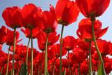 Tulips - II by Paul_Gerritsen, Photography->Flowers gallery