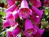 Foxglove by trixxie17, photography->flowers gallery