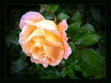 Autumn Rose in The Rain by LynEve, photography->flowers gallery