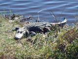 Sunning Gator by pantherpsc, Photography->Reptiles/amphibians gallery