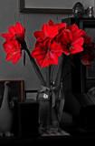 Celebration Amaryllis by braces, photography->flowers gallery