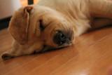 Sleepy Maya by MustangGirl95, photography->pets gallery