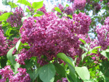 Lilacs In Bloom 2 by lilbwb, Photography->Flowers gallery