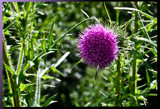 Thistle Stop by phasmid, Photography->Flowers gallery