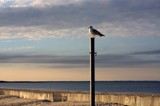 Gull On A Pole by Jimbobedsel, photography->birds gallery
