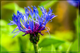 Foofy Friday Cornflower by corngrowth, photography->flowers gallery