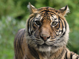 Tiger by Paul_Gerritsen, Photography->Animals gallery