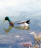 A Slushy Swim by kidder, Photography->Birds gallery