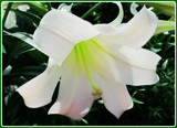 Easter Lily by trixxie17, photography->flowers gallery