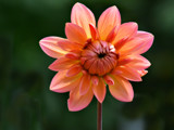 A Different Dahlia by Ramad, photography->flowers gallery
