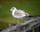 Gull by anderbre, Photography->Birds gallery