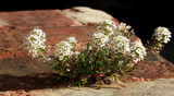 A Brick In The Allysum by braces, photography->flowers gallery