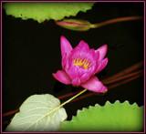 Pinky by trixxie17, photography->flowers gallery