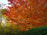 Fall Colours - My Neighbour's Tree by icedancer, photography->nature gallery