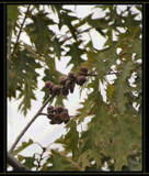 From Mighty Oaks.... Little Acorns.........Grow. by verenabloo, Photography->Nature gallery