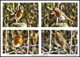 Robins by Dunstickin, photography->birds gallery