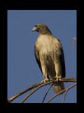 Majestic by garrettparkinson, Photography->Birds gallery