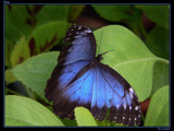 Blue by Larser, Photography->Butterflies gallery