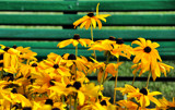 Daisies by a park bench  by J_E_F, Photography->Flowers gallery