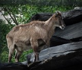 GOAT 3 by picardroe, photography->animals gallery