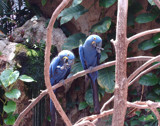 Hyacinth Macaws by rhelms, Photography->Birds gallery