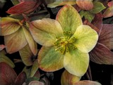 More Hellebore by trixxie17, photography->flowers gallery