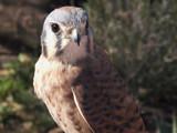 Kestrel Closeup by rawtsn, Photography->Birds gallery