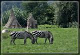 Zebras by Jimbobedsel, photography->animals gallery