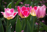 Tulips by Ramad, photography->flowers gallery