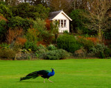 PEACOCK by LANJOCKEY, Photography->Birds gallery