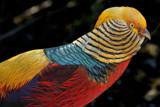 Golden pheasant by Paul_Gerritsen, Photography->Birds gallery