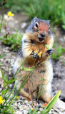 Your Friendly Columbian Ground Squirrel by Zava, photography->animals gallery