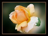 Just Peachy by ladyred, Photography->Flowers gallery