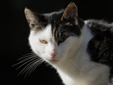 A cats profile by Paul_Gerritsen, Photography->Animals gallery