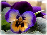 2015 Pansies - Midnight Glow by trixxie17, photography->flowers gallery