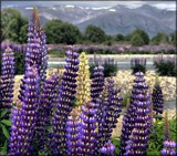 November Lupins #5 by LynEve, photography->landscape gallery