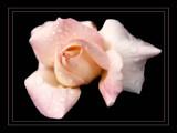 Pink Teardrop Rose by verenabloo, Photography->Flowers gallery