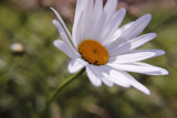 Summer Daisy by morr1sman, photography->flowers gallery