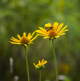 The Three Bears ... I mean, Flowers by Pistos, photography->flowers gallery