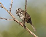 Song Sparrow by garrettparkinson, photography->birds gallery