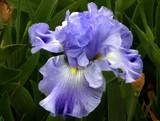 iris by jeenie11, Photography->Flowers gallery