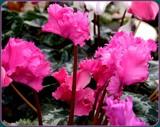Frilly Cyclamen by trixxie17, photography->flowers gallery