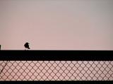 bird on a fence by obscene_ness, Photography->Birds gallery