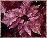 Frosted Merlot Poinsettia by trixxie17, holidays->christmas gallery