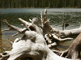 Uprooted Tree, Pogue Lake by fotobob, Photography->Shorelines gallery