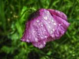 rainy day poppy by Marzena, photography->manipulation gallery