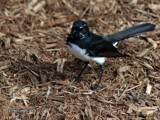 Willy Wagtail by Samatar, Photography->Birds gallery