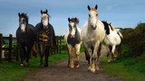 HORSES AT LIBERTY by LANJOCKEY, photography->animals gallery